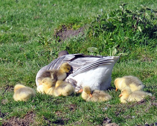 Seven goslings with their China or Chinese goose mother