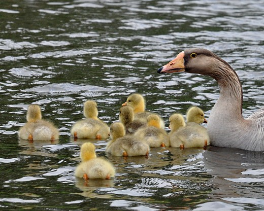 China goose with goslings