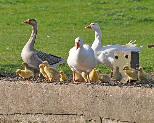 Two females geese with one male plus their 20 goslings