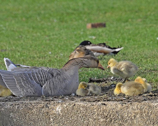 China goose and goslings