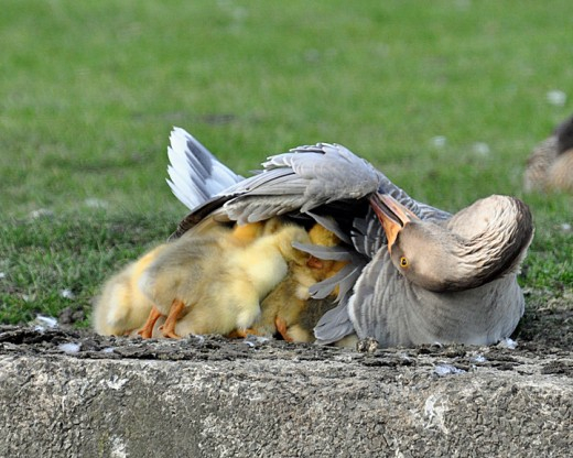 China goose broods her young.  'Standing room only'