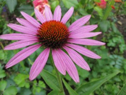 Echinacea (click to view full size)