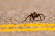 Tarantula Crossing