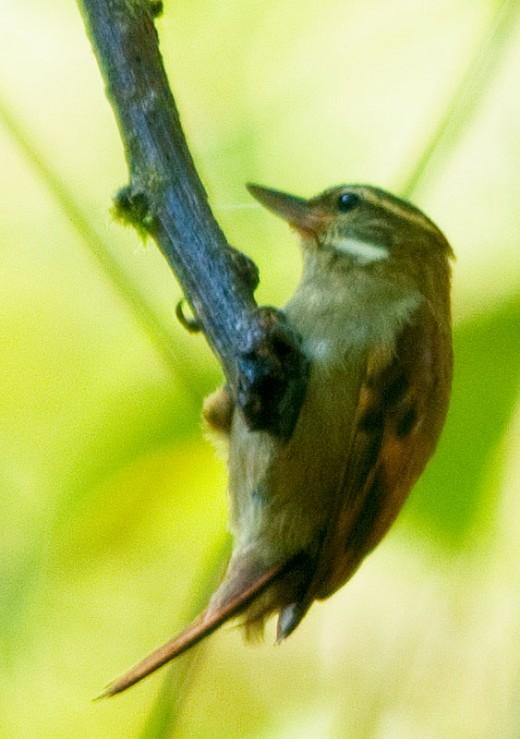 Plain Xenops (Xenops Dorsillano)