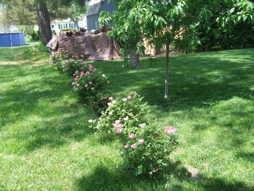 These roses were planted a few feet from our property line.