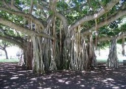 The oldest historical tree in the world