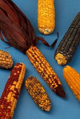 Maize, biodiversity