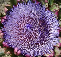 Artichoke in Bloom (overhead shot)