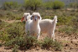 Pygora Goat Basics