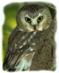 How to Capture a Saw-Whet Owl in a Children's Book)