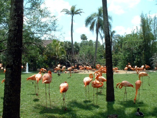 Flamingos at Bausch Gardens
