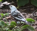Partially leucistic Common Grackle