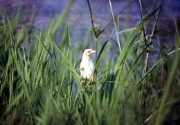 Albino Common Grackle