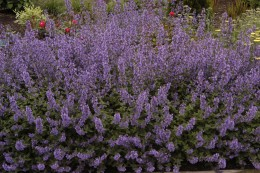 Nepeta racemosa 'Walkers Low' (Catmint), 2007 Perennial Plant of the Year