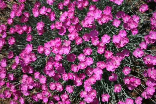 Dianthus Feuerhexe (Firewitch), 2006 Perennial Plant of the Year