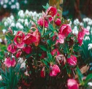 Helleborus x hybridus  (Lenten rose), 2005 Perennial Plant of the Year