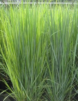 Panicum virgatum (Switchgrass) 'Northwind' was among the 4 plants considered for the prestigious award.