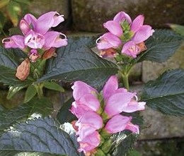 Of 431 plants nominated, Chelone lyonii (Turtlehead) 'Hot Lips' was among the finalists.