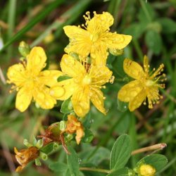 St Johns Wort for depression