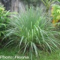 Lemongrass for digestive problems, headache, tickly coughs and mild fevers