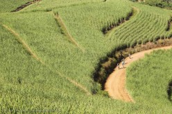 The sea of green of the cane fields of KZN.