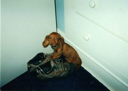 Annie was the youngest of our 3 dachshunds.  She took a nap in my husbands shoe.