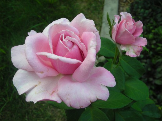 Memorial Day: Hybrid Tea Rose.