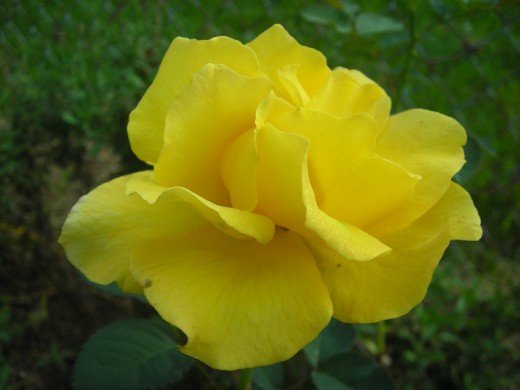 Hybrid Tea Rose: Midas Touch.