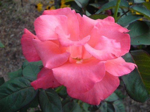 Touch Of Class Hybrid Tea: A few Days Blooming.