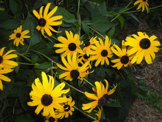 No Garden Around Here Is Complete Without The Black-Eye Susan. TONS of Blooms All The Time!
