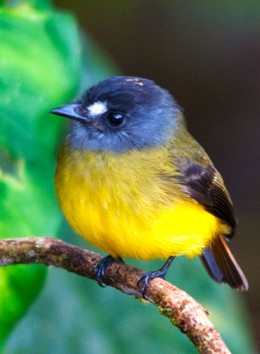Ornate Flycatcher (Western Slope)