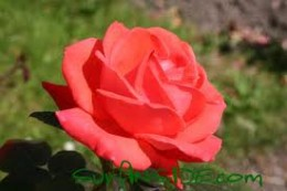 A Perfect Rose?