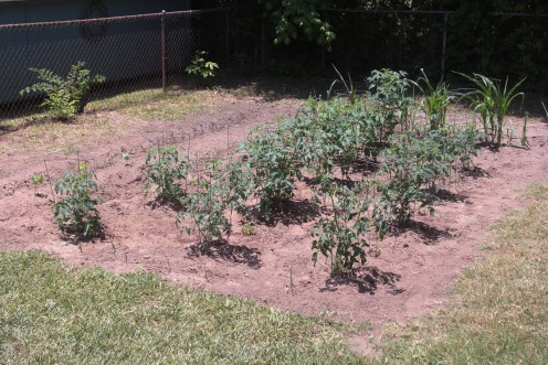 This is the garden we planted this year.  Tomatoes, corn, okra, onions, habaneros and jalapenos are seen here.