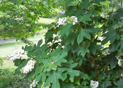 Oak Leaf Hydrangea are beautiful larger-than-life plants for every season.