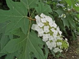 A Shade Providing Plant