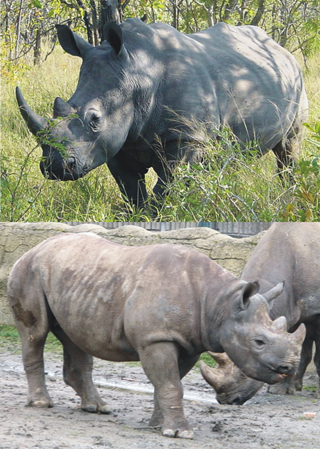 Black rhino (up) and white rhino (below)