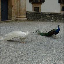 "The peacock ""bride"""