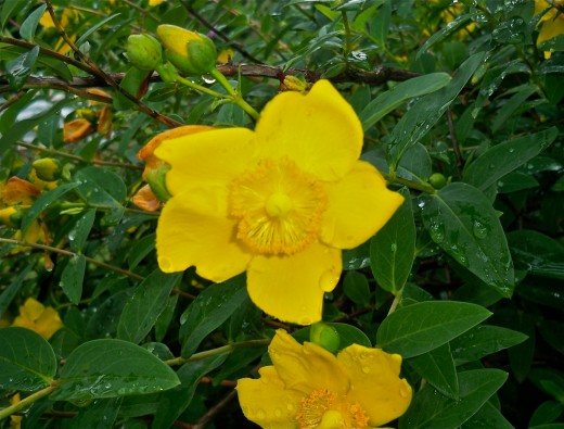 Rich Yellow St. John's Wort Flowers