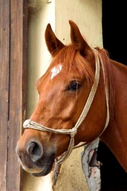 The Swedish Warmblood Horse Breed Facts and Information