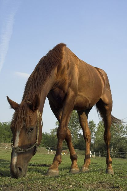 swedish warmblood horse