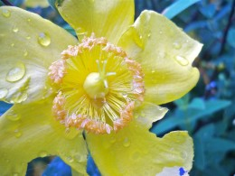 Bold St. John's Wort Is A Garden Delight