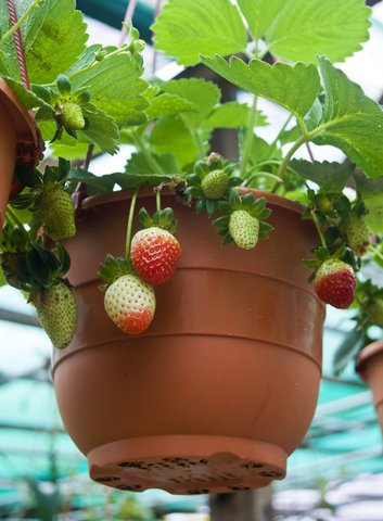 Potted strawberry plants.