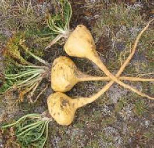 Maca, the Superfood from Peru