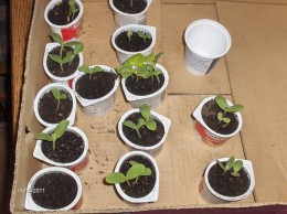 seed starts in  recycled yogurt containers