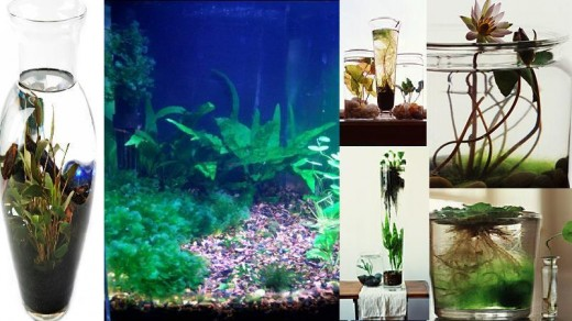 Indoor fresh water garden. Simple gardening