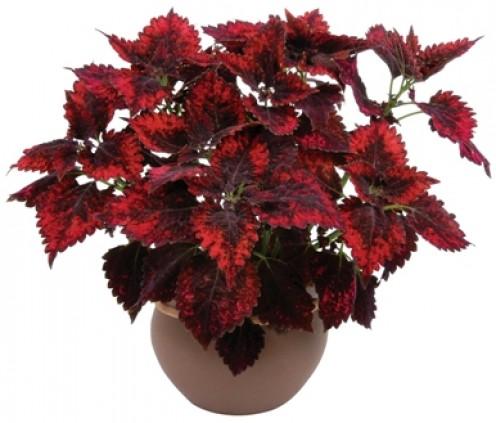 Coleus red velvet house plant