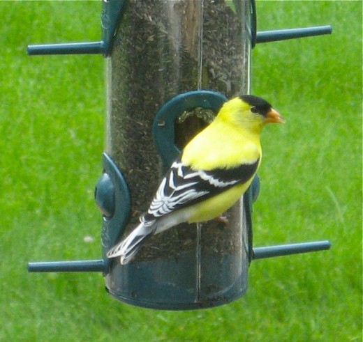 Male goldfinch in mid-May in his full mating- season colors.