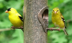 The male American Goldfinch (left) and the female (right) at their brightest.