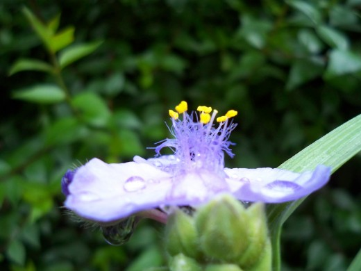 A crown for spiderwort's beauty!
