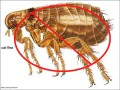 How to Get Rid of Fleas in Your Home for Good!